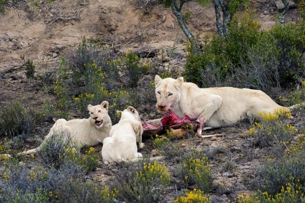 mythical-albino-animals-02-600x399