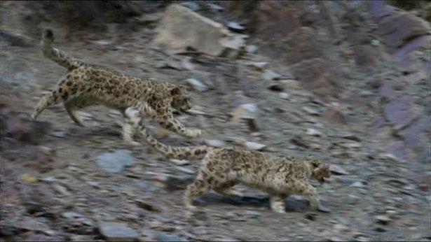 leopardali3