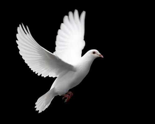 90361 bigstockphoto White Dove In Flight 976408