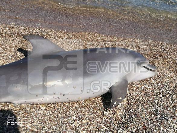 delfini patra1