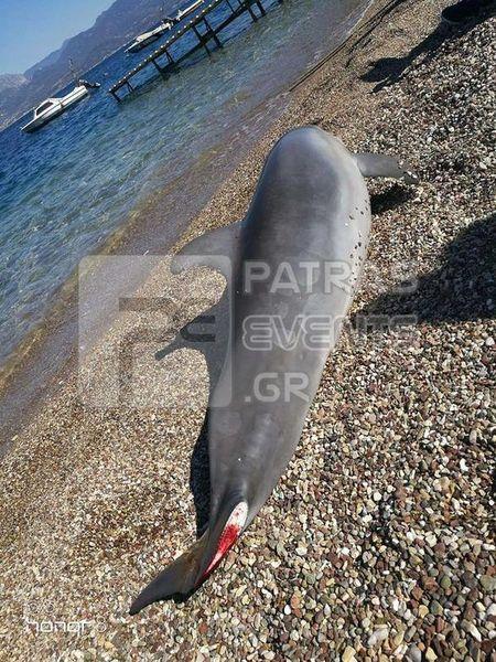 delfini patra2
