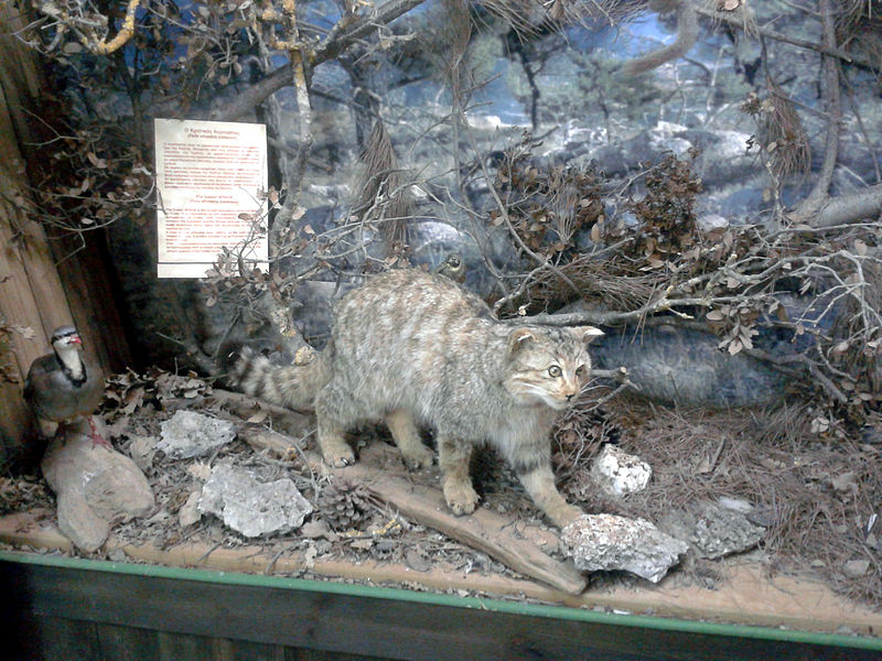 Felis silvestris cretensis