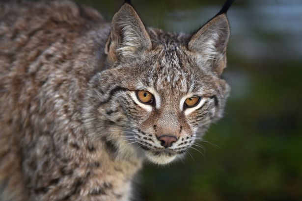 FILE The Lynx Trust Seek Permission To Release Big Cats Into The Wild