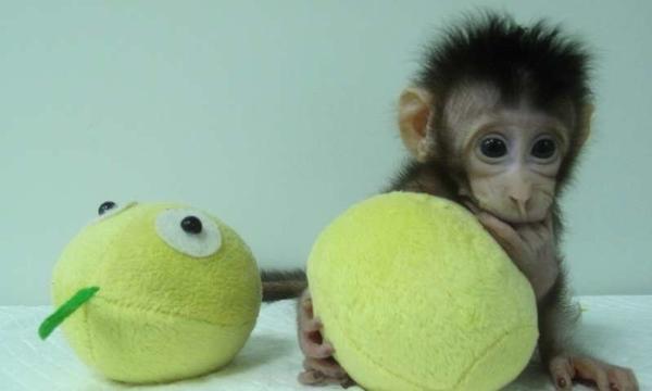 cloning monkey
