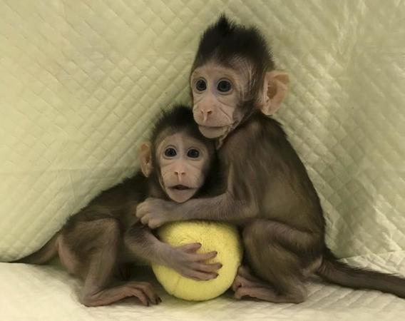 cloning monkey1