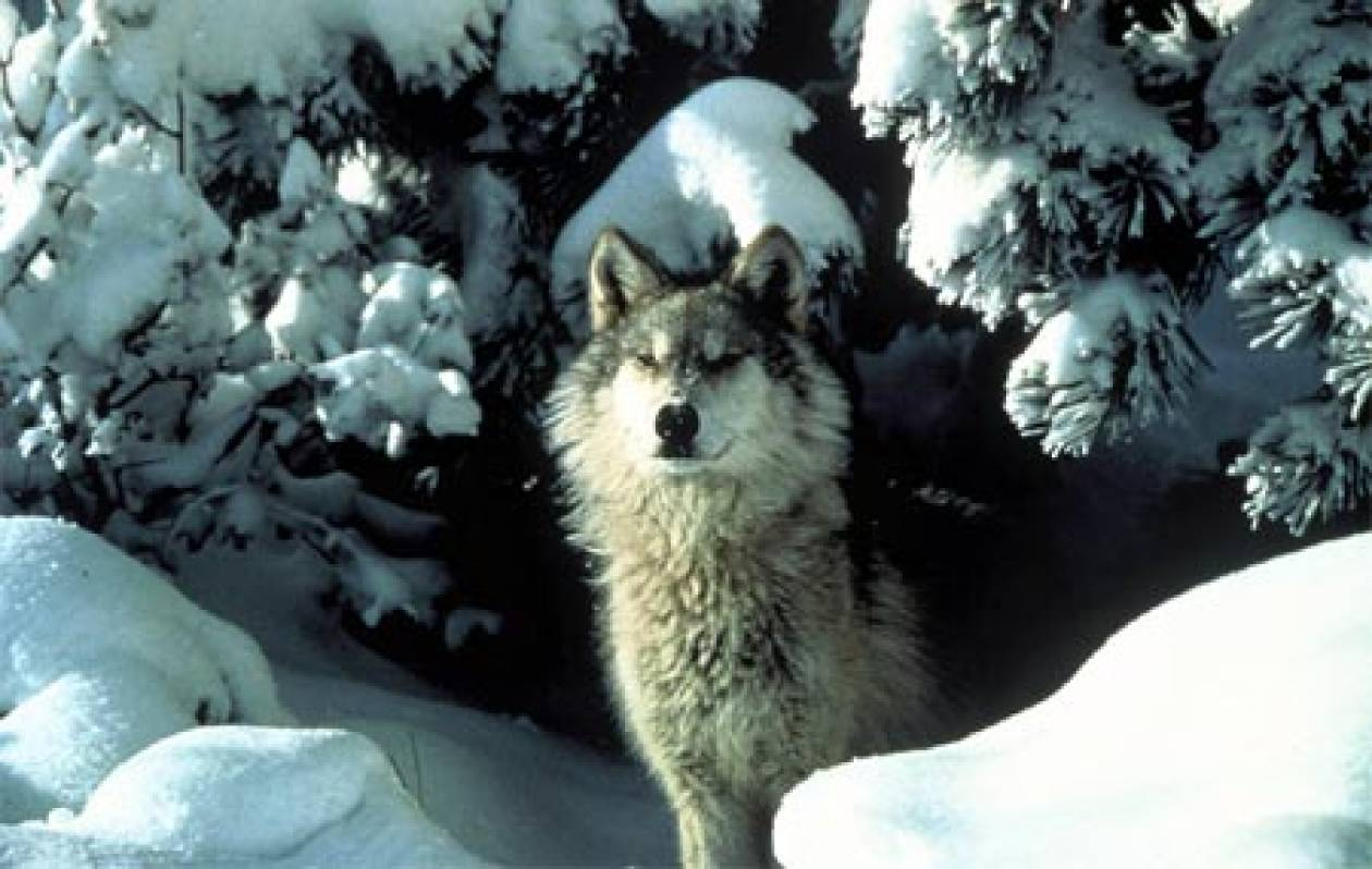 Προς απαγόρευση το κυνήγι του λύκου στη Σουηδία