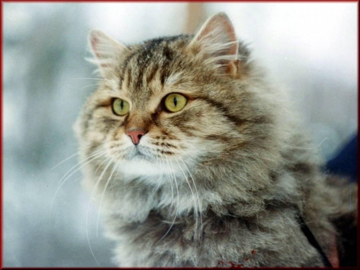 Μια γάτα διέσχισε τη Σιβηρία για να βρει το σπίτι της