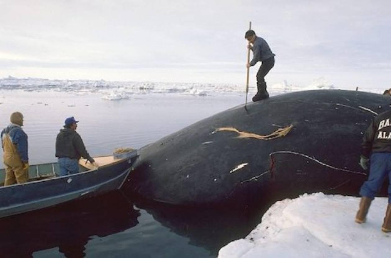 Διακόπηκε η επιχείρηση φαλαινοθηρίας στην Ανταρκτική