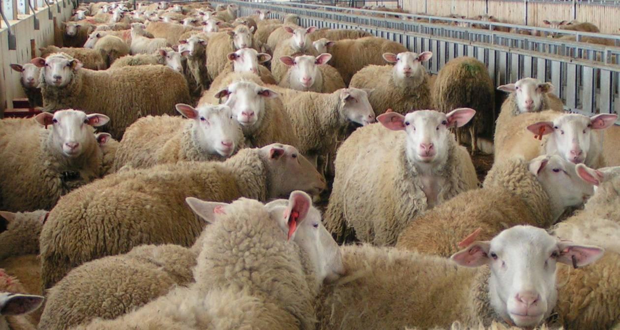 Δηλητηριάζουν τα πρόβατα στα Σφακιά