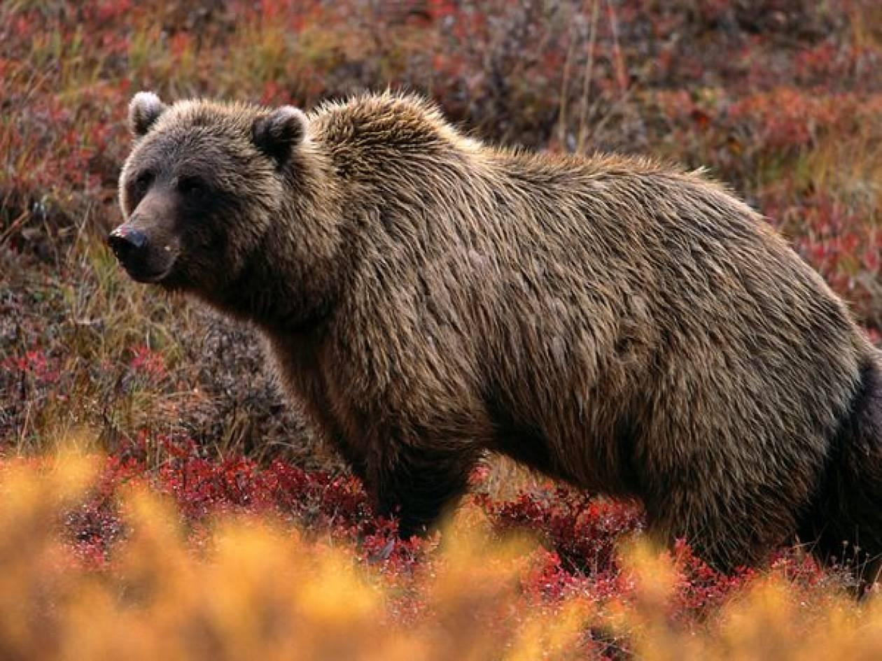 Σκότωσαν και έφαγαν αρκούδα στα Γρεβενά!