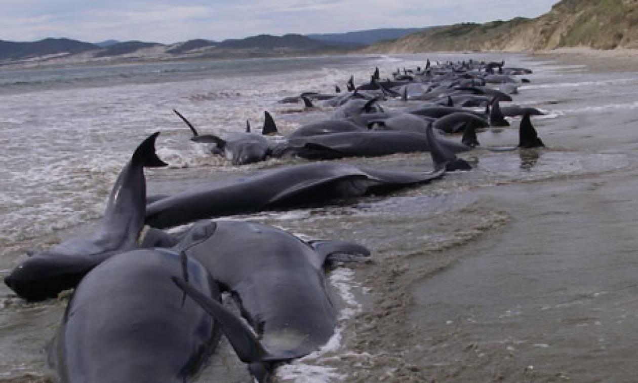 Εκατόν επτά φάλαινες νεκρές στη Ν. Ζηλανδία