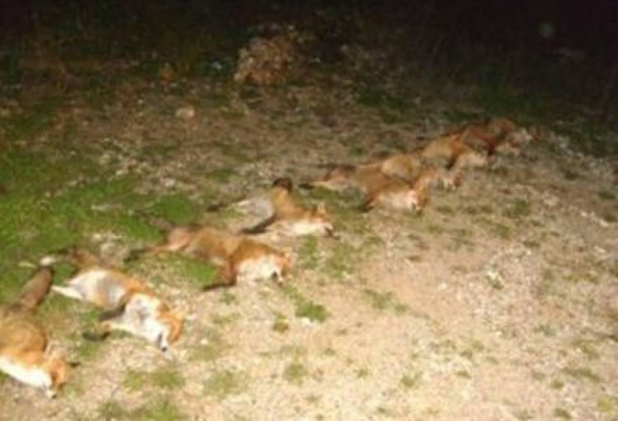 Ηλεία: «Φιλόζωοι» σκότωσαν αλεπούδες