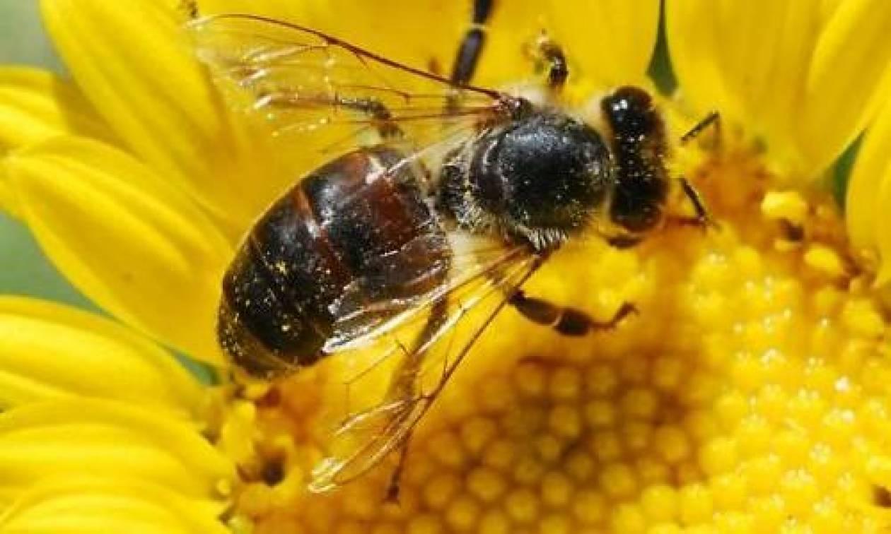 «Θανατηφόρο κεντρί» για τη διατροφική αλυσίδα οι θάνατοι μελισσών
