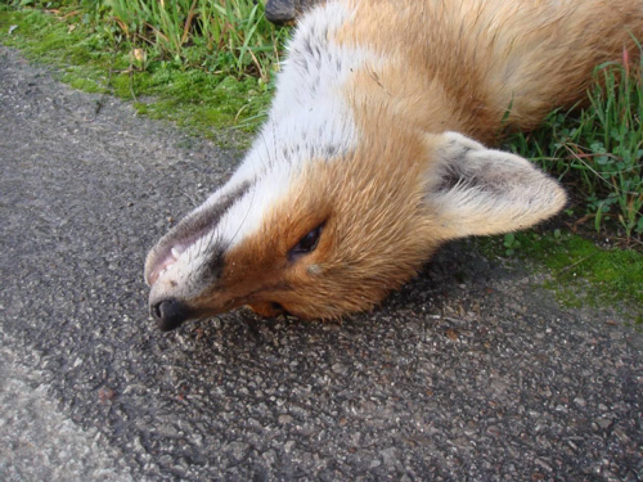 Νεκρές αλεπούδες από φόλες στη Φθιώτιδα