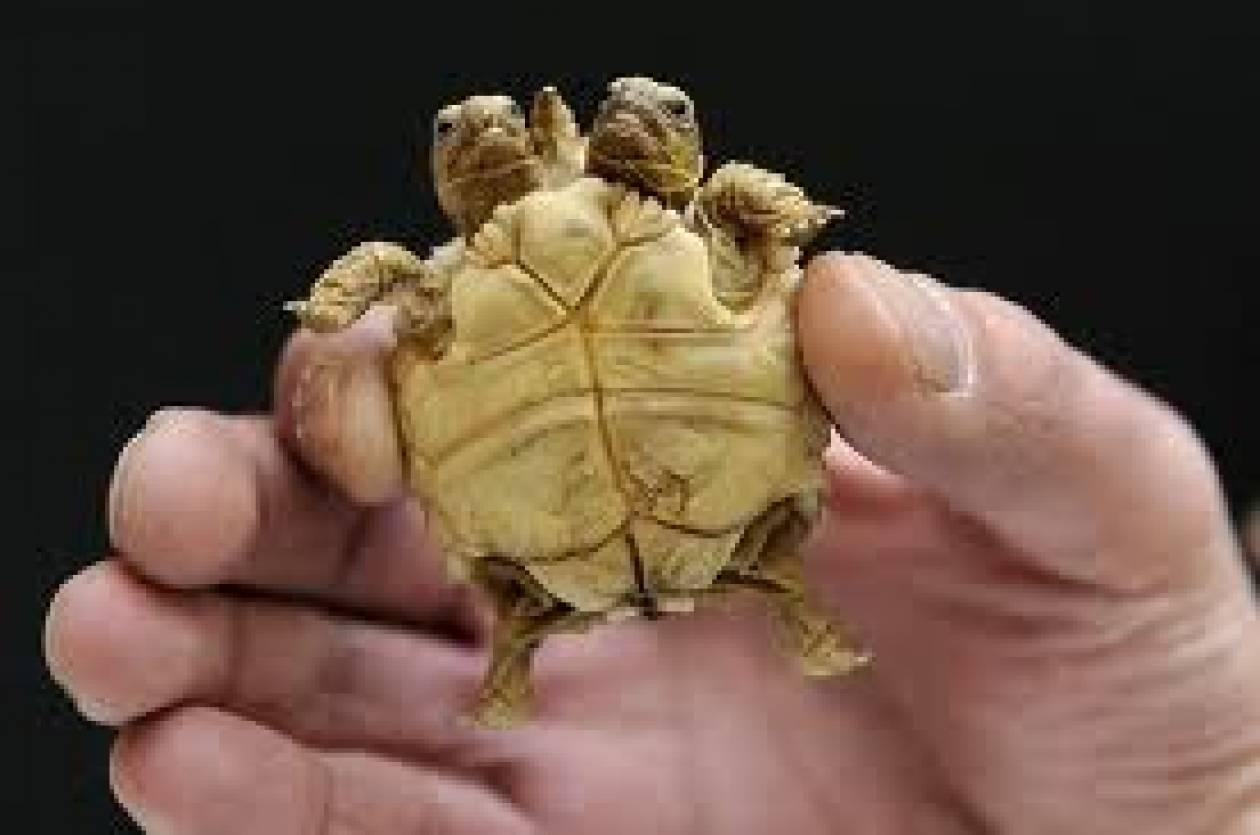 Δικέφαλη χελώνα στη Σλοβακία