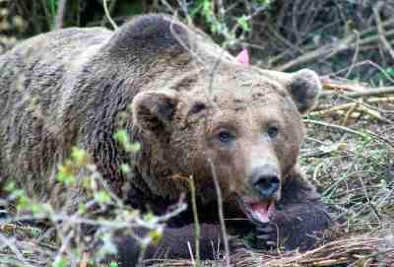 Νεκρή αρκούδα σε τροχαίο