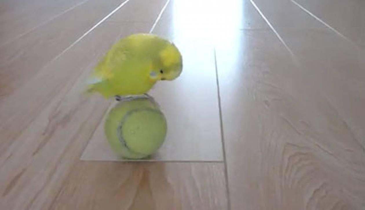 Πουλί… ζογκλέρ