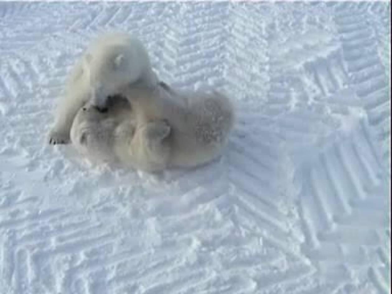 Υπό προστασία η πολική αρκούδα