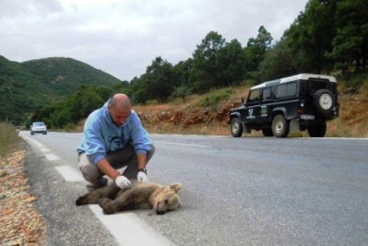 Θύμα τροχαίου αρκούδα στην Κρυσταλλοπηγή Φλώρινας