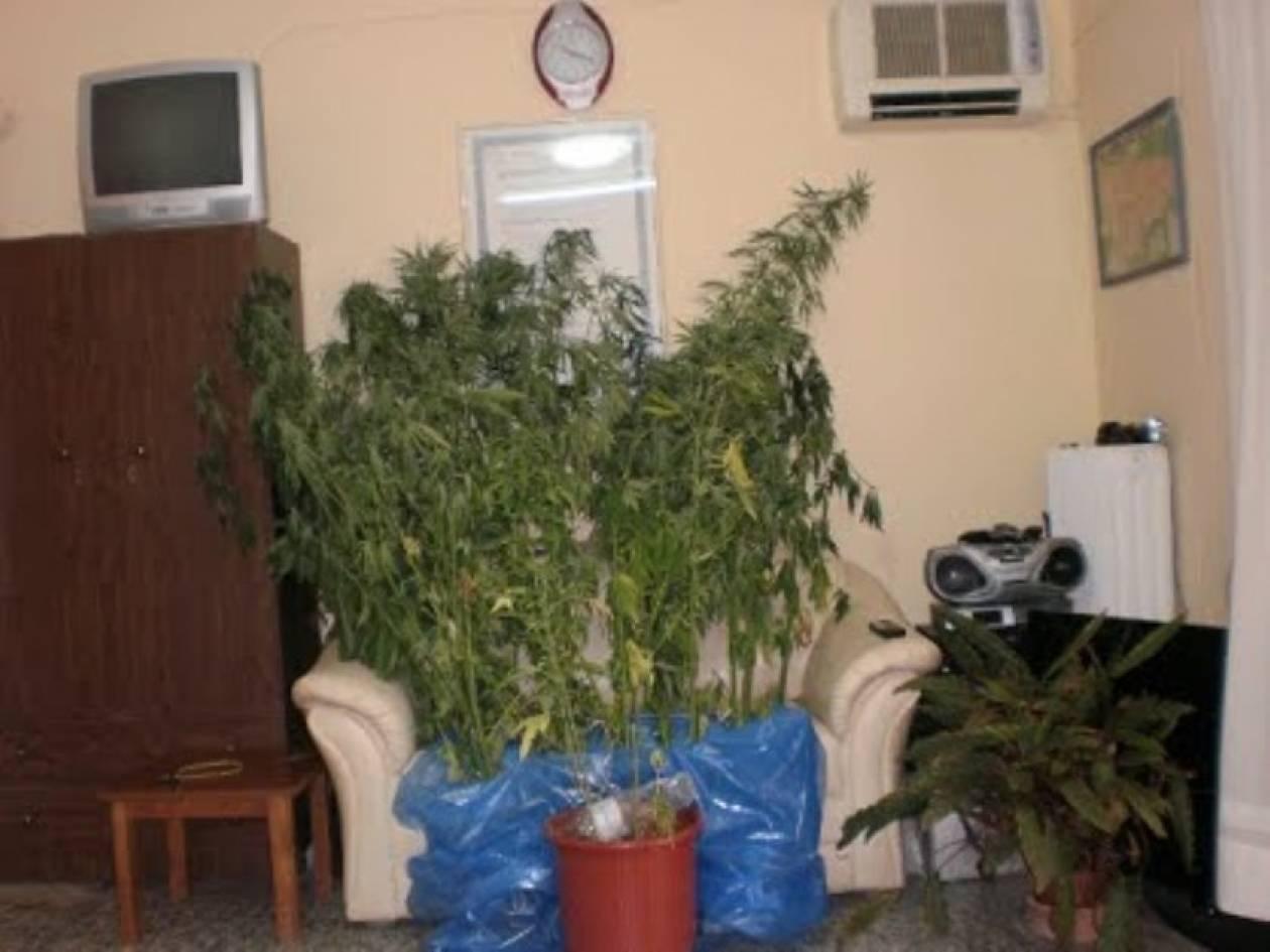 Καλλιεργούσαν 192 δενδρύλλια κάνναβης στη Σάμο