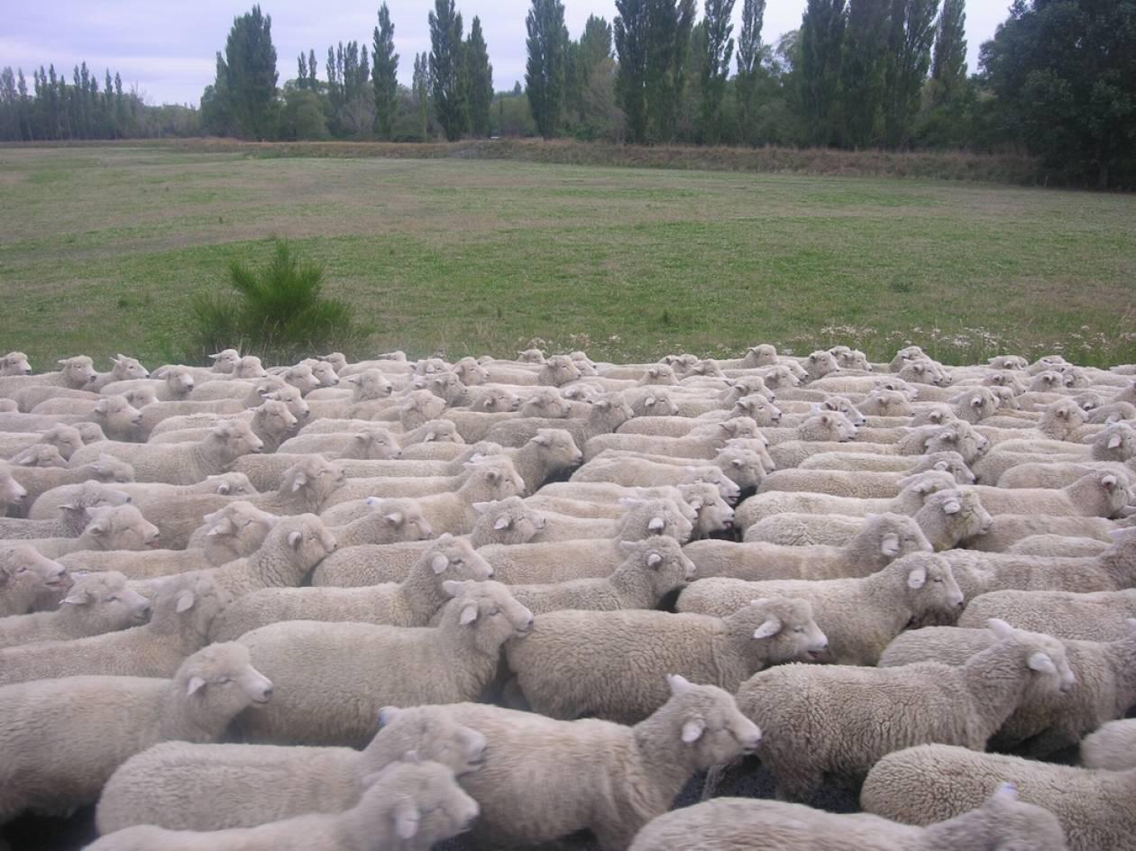 «Έφαγαν» 55 πρόβατα από μαντρί