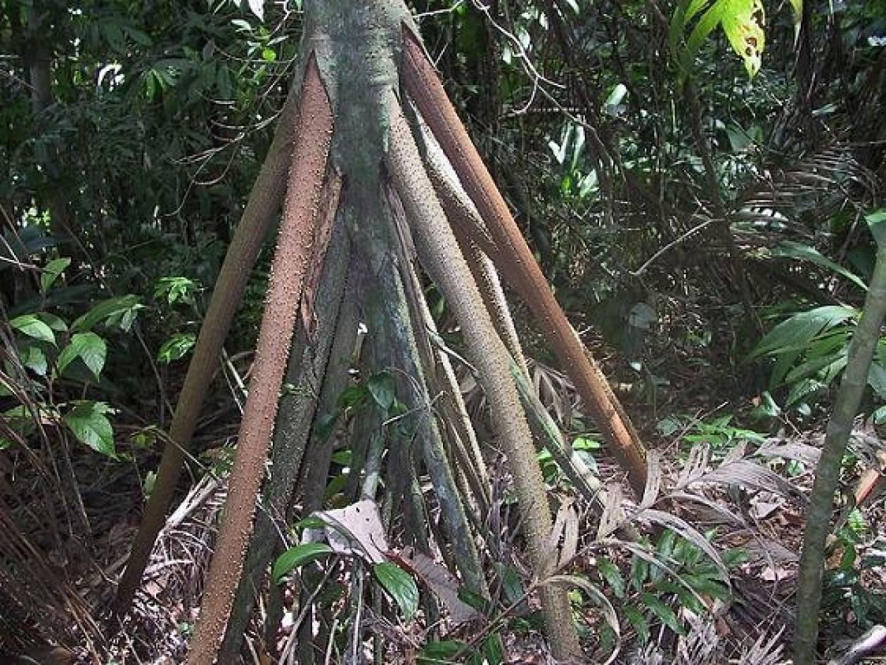 Το δέντρο που…περπατάει