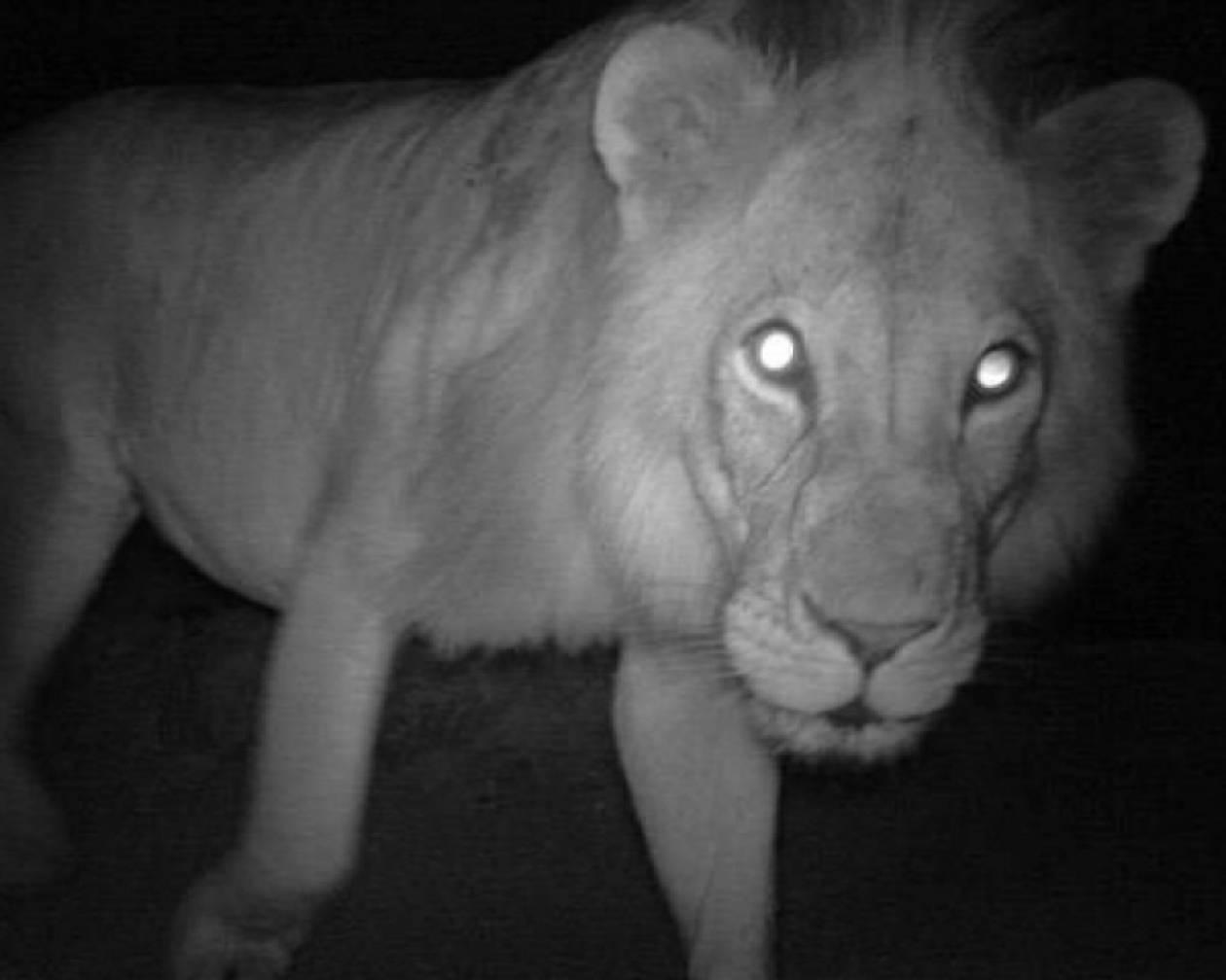 «Βοήθεια! Ένα λιοντάρι έχει μπει μέσα στο iPhone μου»!