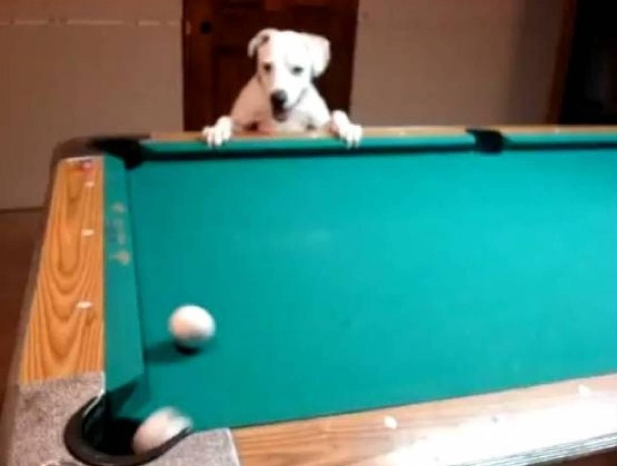 Σκύλος παίζει μπιλιάρδο