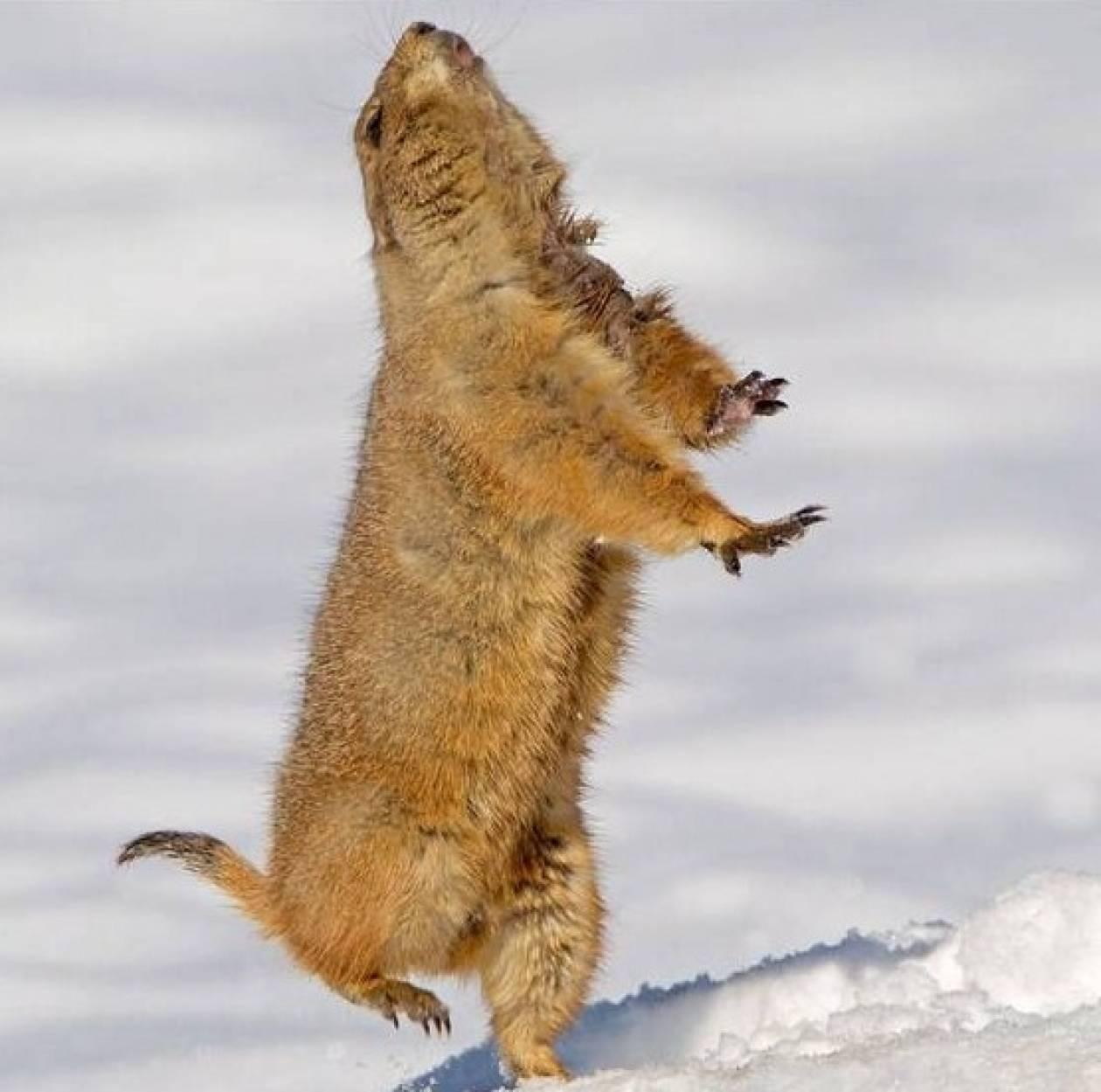 Τρωκτικό χορεύει στο χιόνι