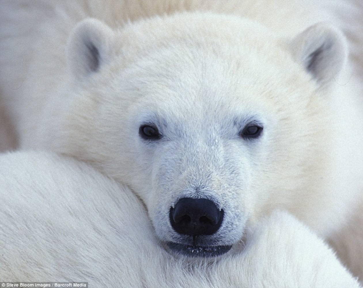 Πολικές αρκούδες παίζουν στο χιόνι