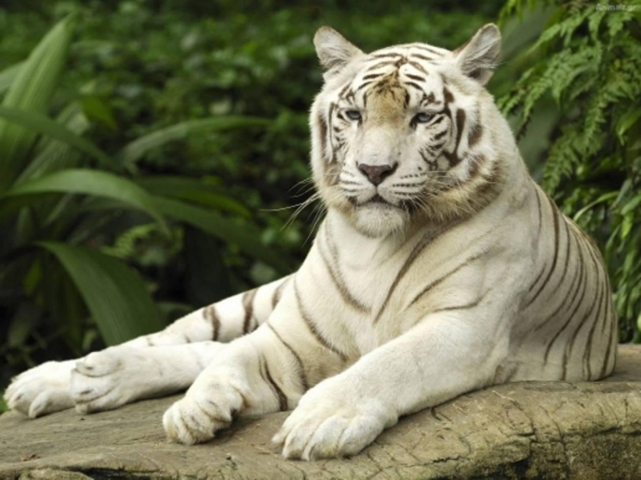 Απίστευτο: Άγρια τίγρης επιτέθηκε σε υπαλλήλους ζωολογικού κήπου