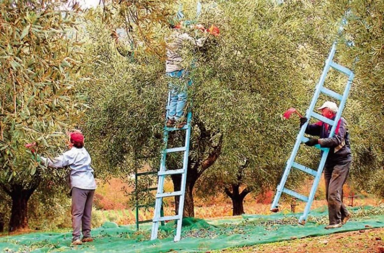 Πρέβεζα: Ελαιοπαραγωγοί διώχνουν τους Αλβανούς εργάτες