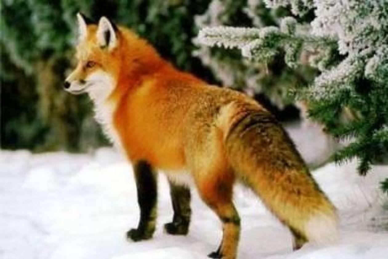 Απίστευτο! Δείτε τι έκανε μία πονηρή αλεπού
