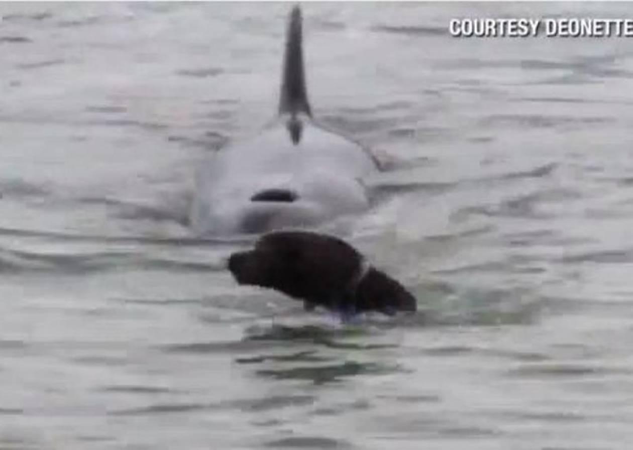 Βίντεο: Φάλαινα-δολοφόνος «καταδιώκει» σκύλο