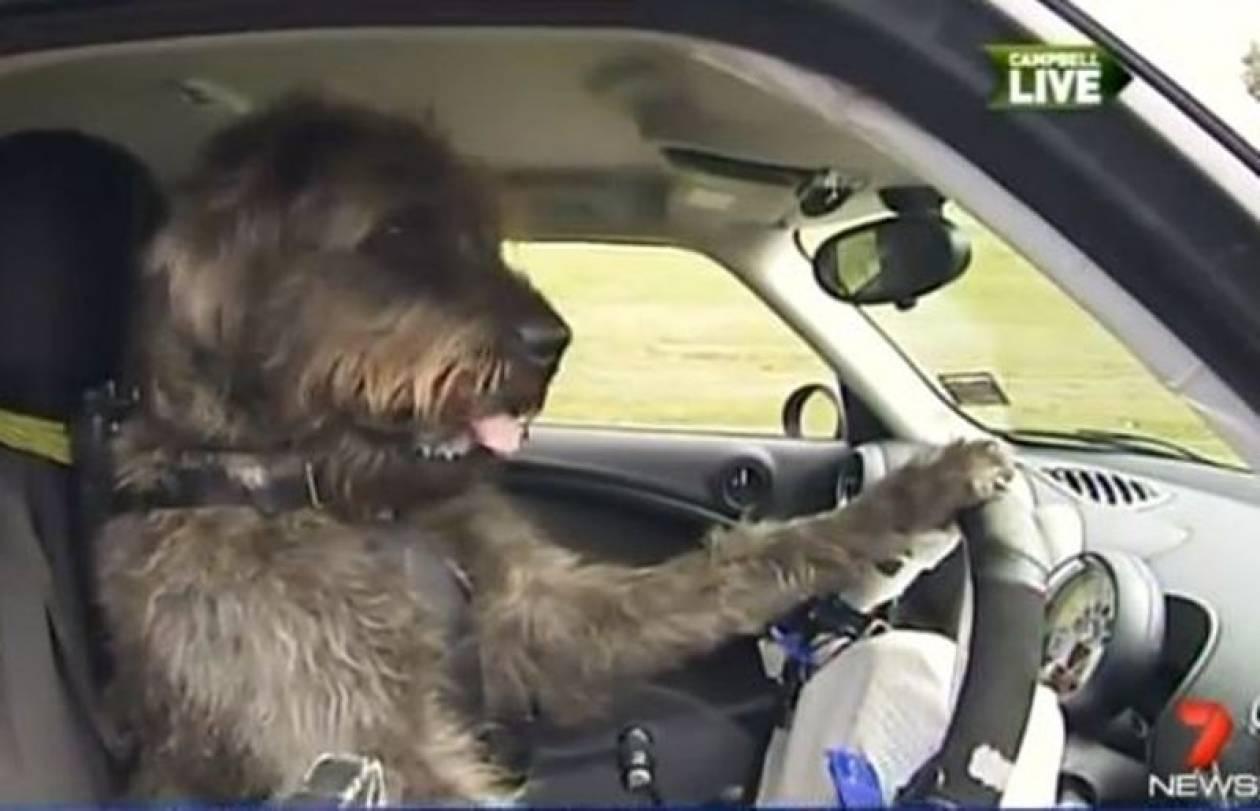 Βίντεο: Μαθήματα οδήγησης σε σκύλους