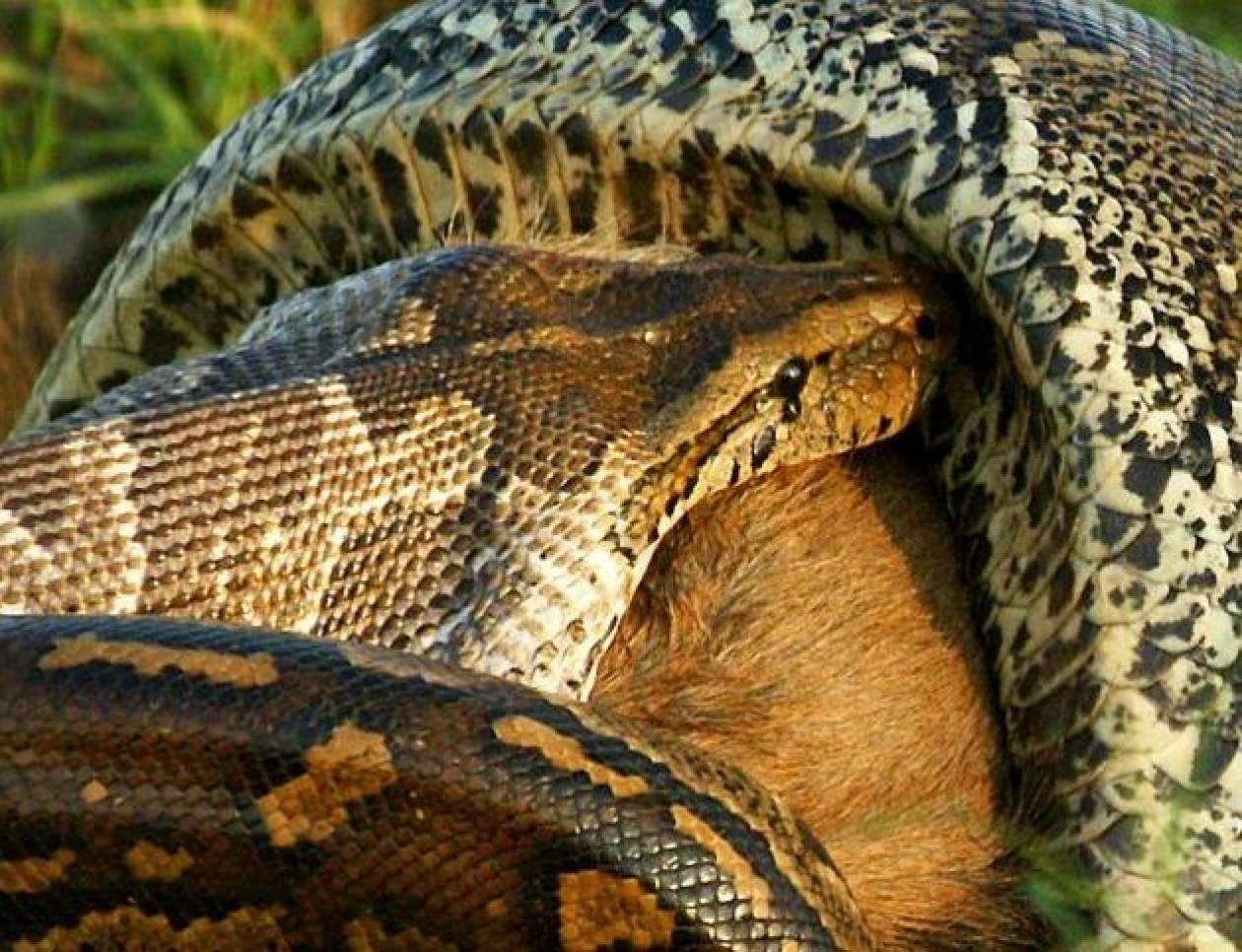 Απίστευτες φωτογραφίες: Πύθωνας καταπίνει ολόκληρο άγριο ζώο