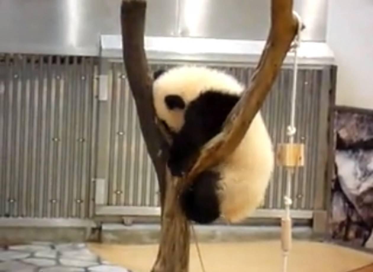Bίντεο: Δείτε την απεγνωσμένη προσπάθεια ενός panda...