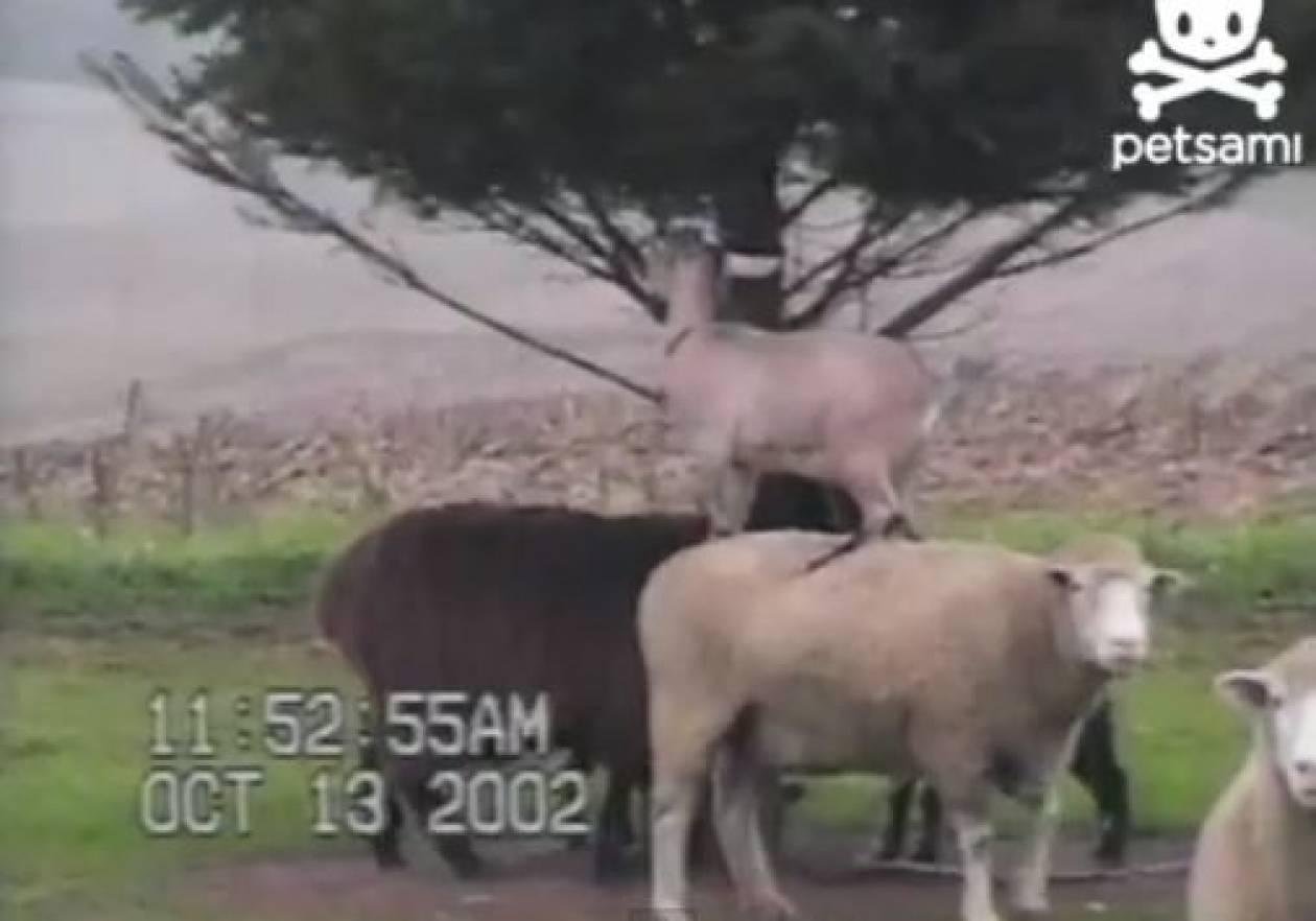 Βίντεο: Πρόβατο βοηθάει κατσικάκι για να φάει