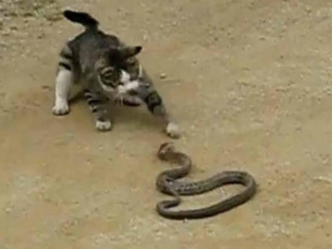 Γάτα - Φίδι, σημειώσατε ένα (video)