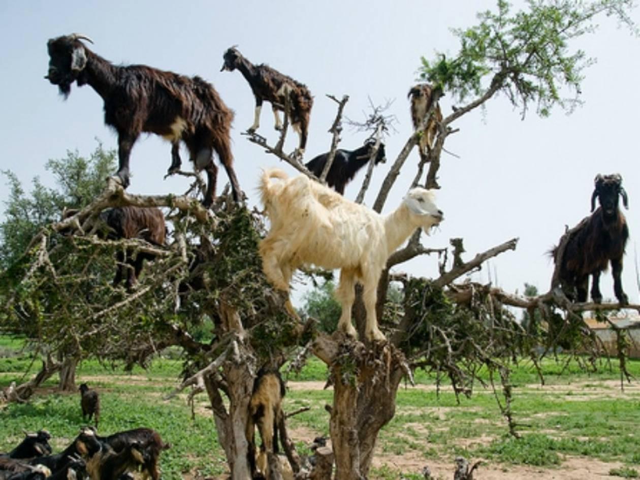 ΔΕΝ είναι Photoshop: Κατσίκες ακροβάτες - σκαρφαλώνουν σε κλαδιά!