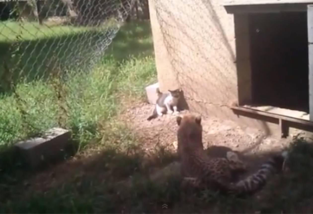 Βίντεο: Γάτα «τα βάζει» με τσιτάχ!