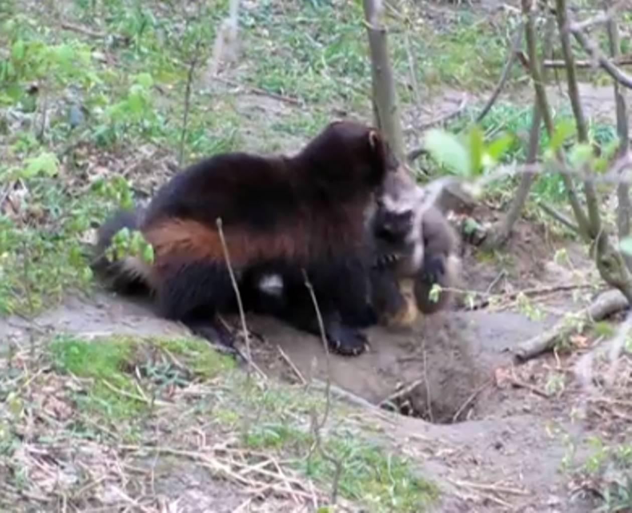 Βίντεο: Μικρό αρκουδάκι σε... μπελάδες!