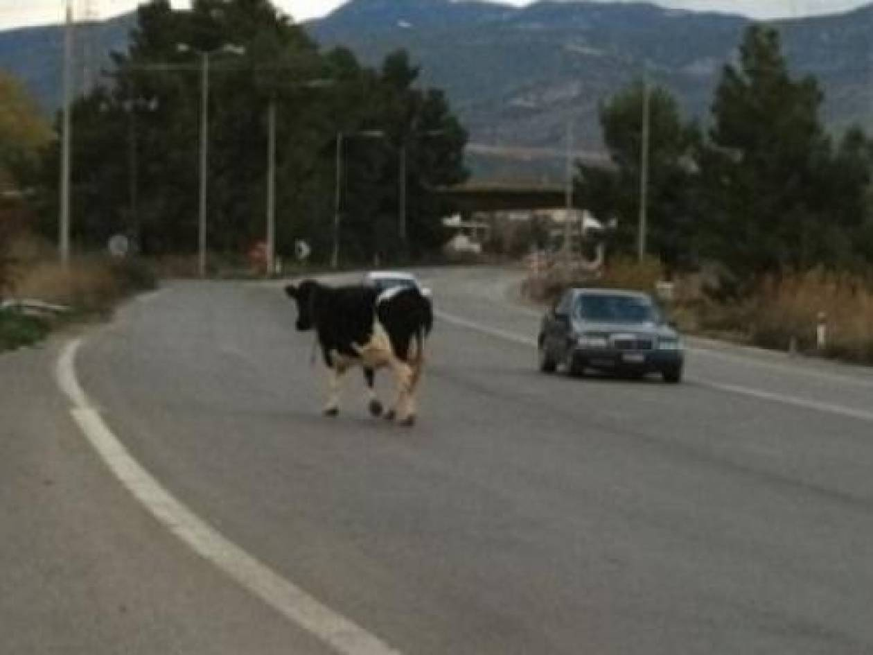 ΑΠΙΣΤΕΥΤΟ: Έκοψαν κλήση σε αγελάδα!
