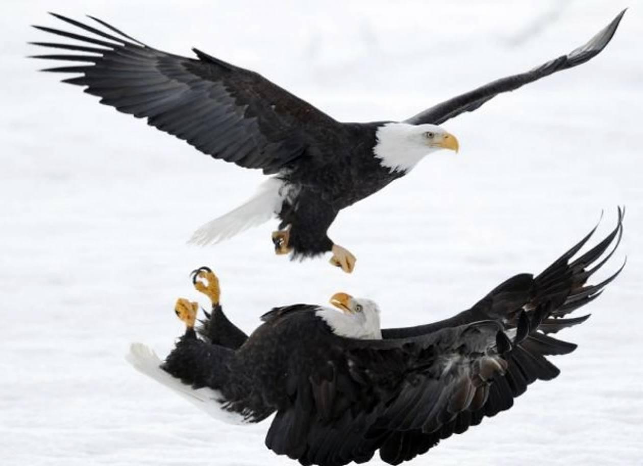 Εντυπωσιακή αετομαχία στην Αλάσκα (pics)