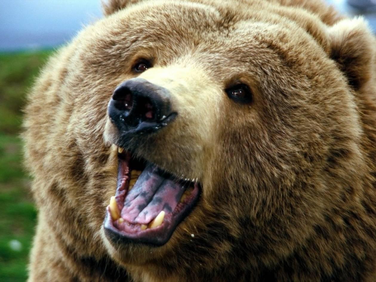Καστοριά: Η αρκούδα με το κολάρο προκαλεί ξανά πανικό