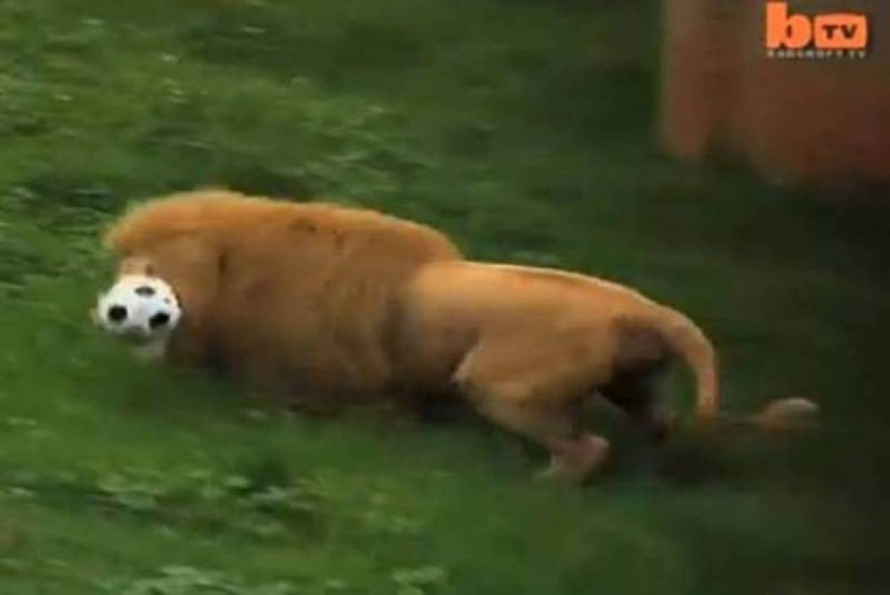 Δείτε το λιοντάρι που λατρεύει το ποδόσφαιρο! (video)