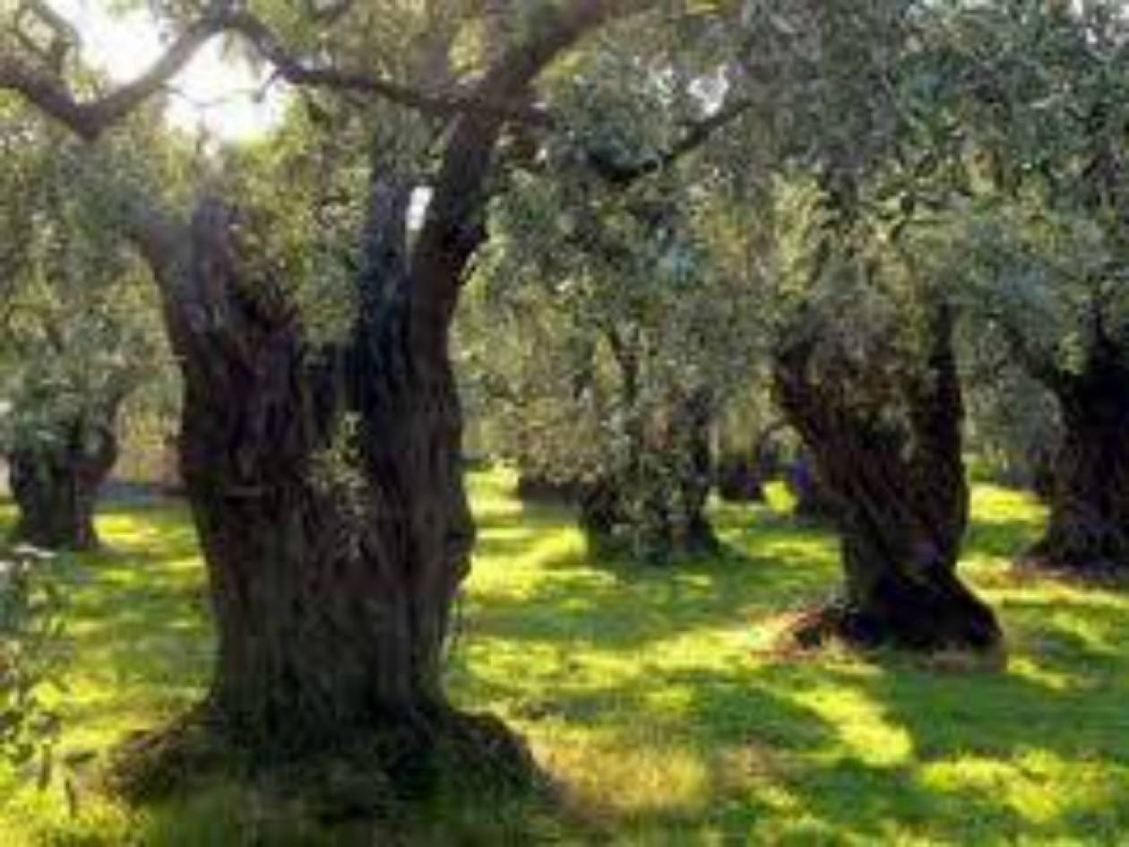 Έκλεψαν 6 τόνους ελαιόδεντρων από αποθήκη στην Κέρκυρα!