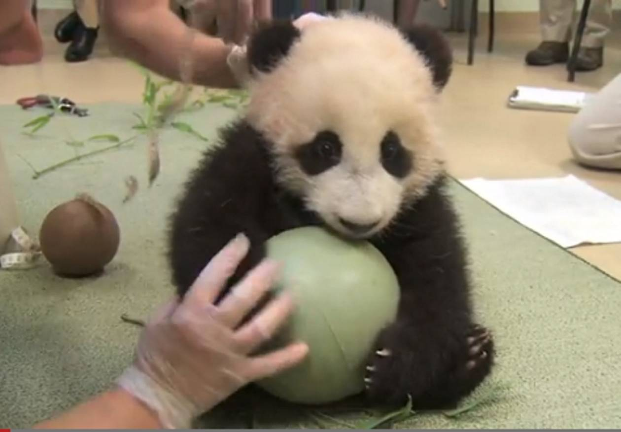 Βίντεο: Δείτε το απίστευτο παιχνίδι ενός μωρού panda!