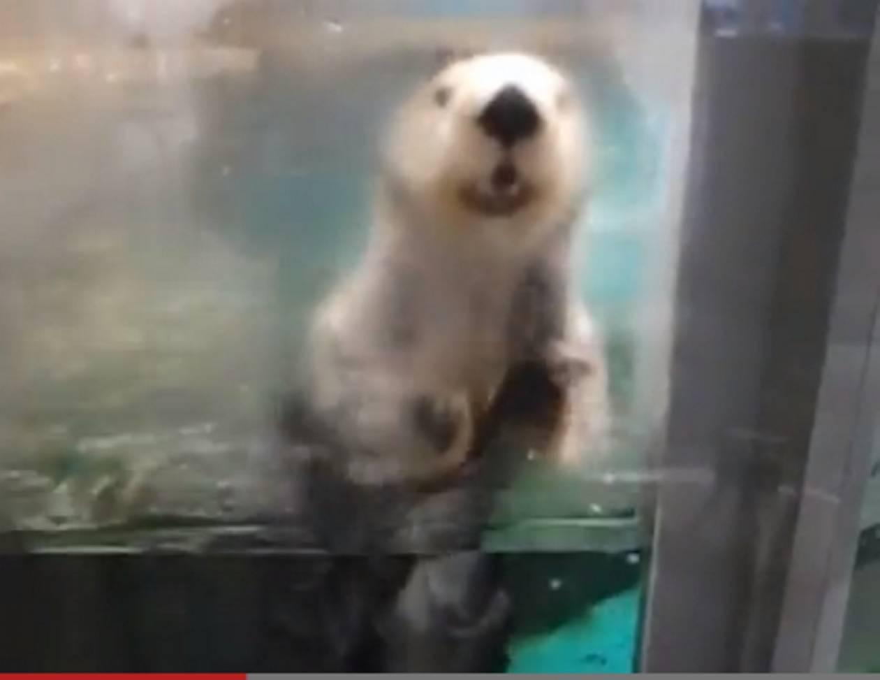 Βίντεο: Κι όμως αυτή η μικρή βίδρα σας... ικετεύει!