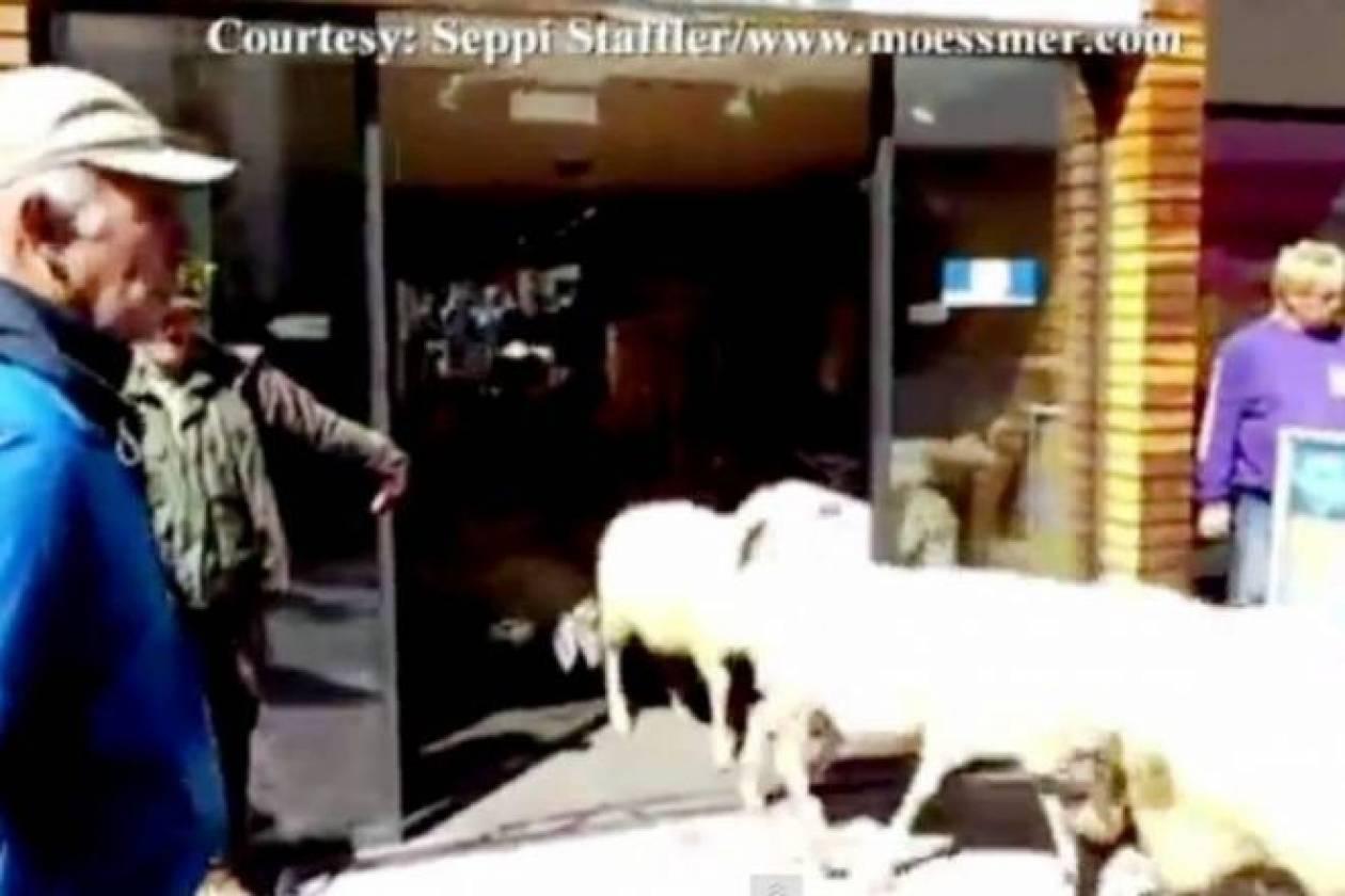 Κοπάδι πρόβατα εισβάλει σε μαγαζί αθλητικών ειδών!